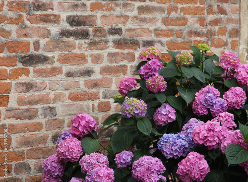 Foto op Canvas Hydrangea Purple hydrangeas bloomed with flowers with an old red brick wal