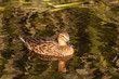 female mallard on lake surface