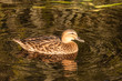 female mallard swimming on lake