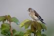 Linnet, Carduelis cannabina, female