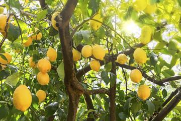 Reife Zitronen am Baum