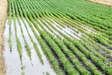 Agriculture, natural disaster, flood in soy field, spring