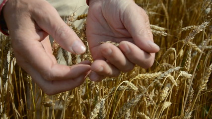 farmers hand looking at wheat ready to harvest