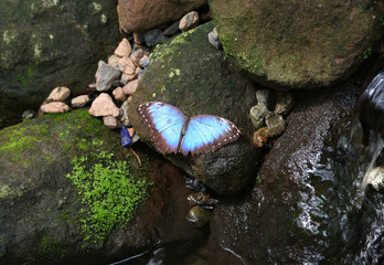 Blue Morpho Butterfly  standing on a mossy wet rock