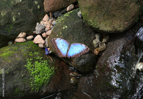 Blue Morpho Butterfly  standing on a mossy wet rock