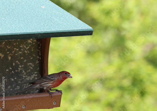 A Male House Finch eating a Sunflower seed from a Bird feeder