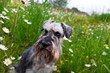 zwergschnauzer and camomile flowers