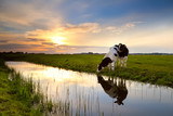two cows by river at sunset