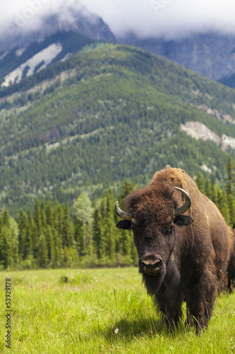 Fotobehang Buffel American Bison or Buffalo