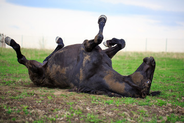 Trakehner black stallion in spring field