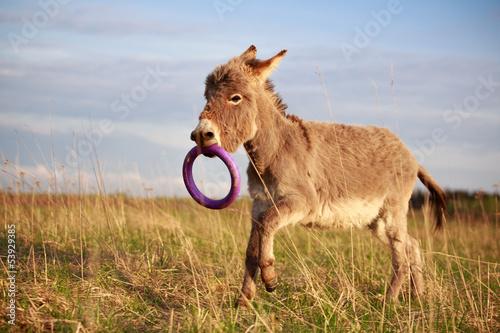 Poster Ezel Grey donkey with toy