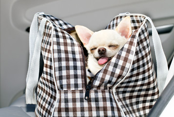 chihuahua in bag in the car