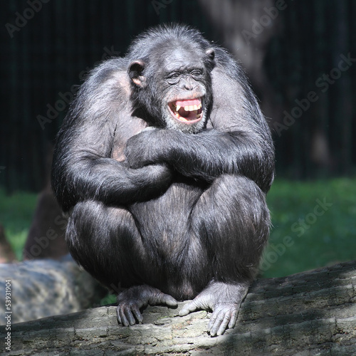 Foto op Canvas Aap Smiling happy Chimpanzee.