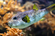 White-spotted puffer in the sea