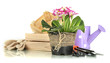 Beautiful pink primula in flowerpots and gardening tools,