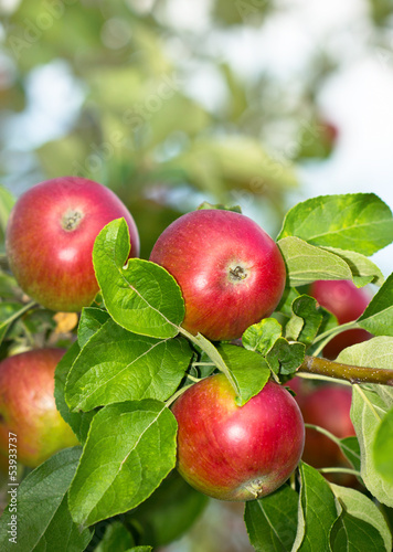 Fresh organic apples in the garden