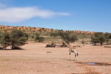 One giraffe walking in the desert dry landscape