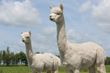 Two peruvian alpacas in a Dutch animal park