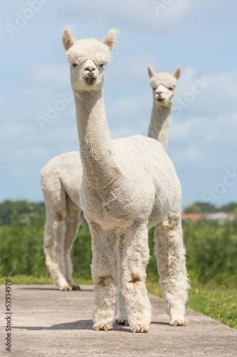 In de dag Lama Two peruvian alpacas in a Dutch animal park