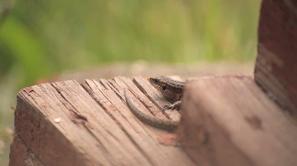 Ящерица на деревянном крыльце