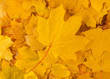 yellow decorative maple leafs