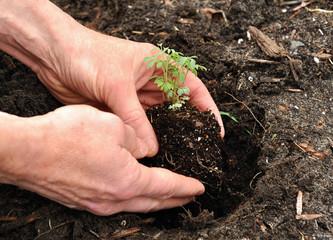 Man Planting a Plant