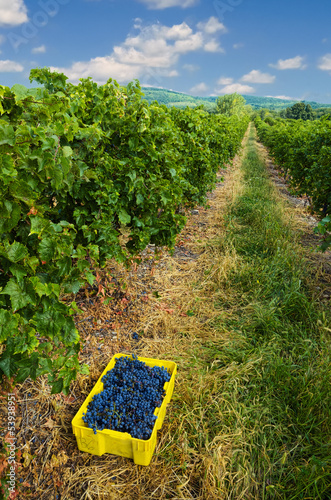 Vineyard with Freshly Picked Grapes