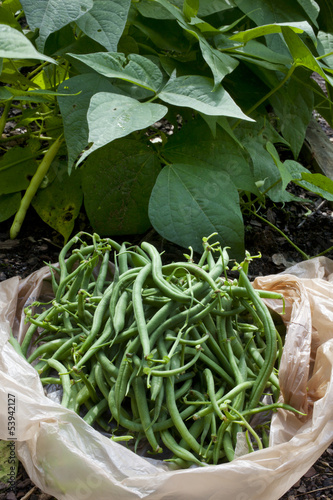 Freshly picked green beans from a garden.