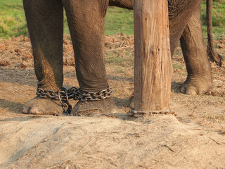 elephant in a chains