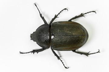 earth- boring dung beetle