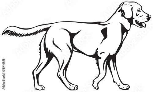 Labrador retriever dog breed illustration