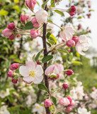 Apple blossoms and buds in springtime