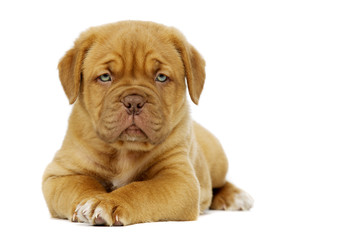 Dogue De Boudeux Puppy Isolated on a white background