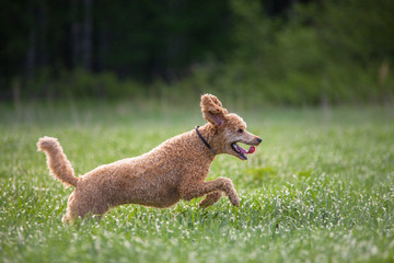 Hunting Dog