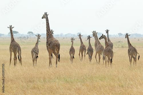 Fototapeten,giraffe,abenteuer,afrika,afrikanisch
