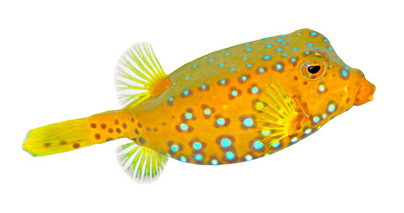The Yellow  Boxfish (Ostracion cubicus).