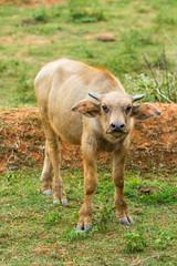 Thai buffalo chiangmai Thailand