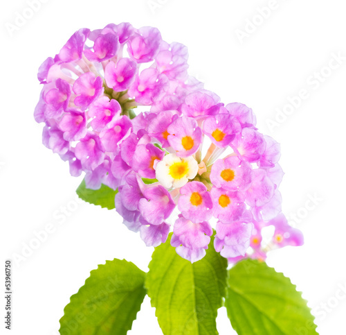 flower Lantana camara isolated on white background