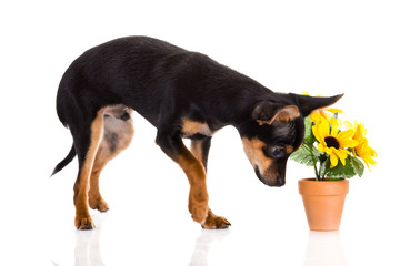 chihuahua and flowers  isolated on white background
