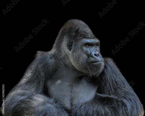 Foto op Canvas Aap Contemplative Gorilla