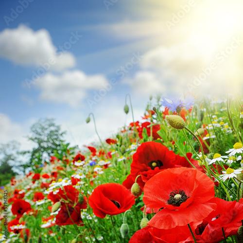 Obraz na Plexi Red poppies on summer field