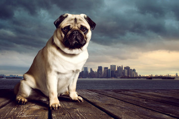 Pug in front of a skyline