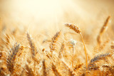 Fototapety Field of Dry Golden Wheat. Harvest Concept