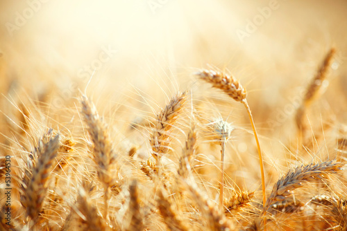 Field of Dry Golden Wheat. Harvest Concept - 53964530