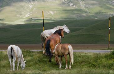 Cavalli in libertà a Castelluccio di Norcia