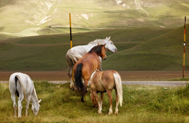 Cavalli in libertà