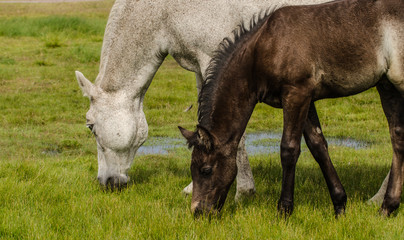 Brown horse foal with the mother