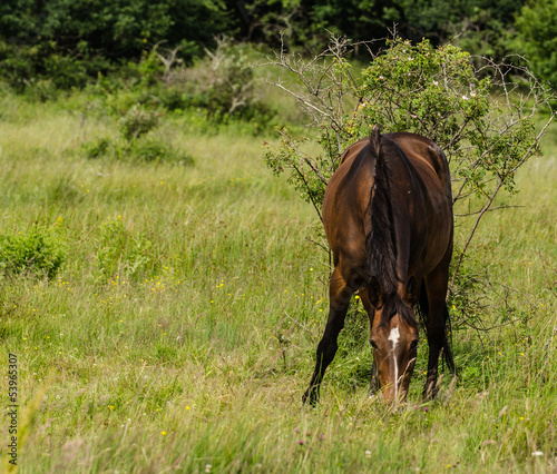 Brown horse eating