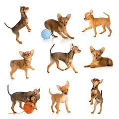 toy terrier collection isolated