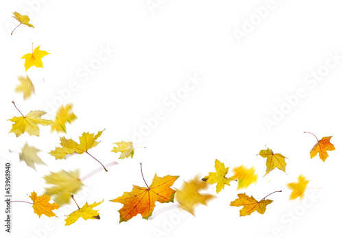 Maple yellow autumn falling leaves, on white background.